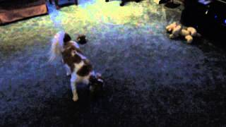 Kc Cavalier King Charles Spaniel Catches The Ball For The Seahawks
