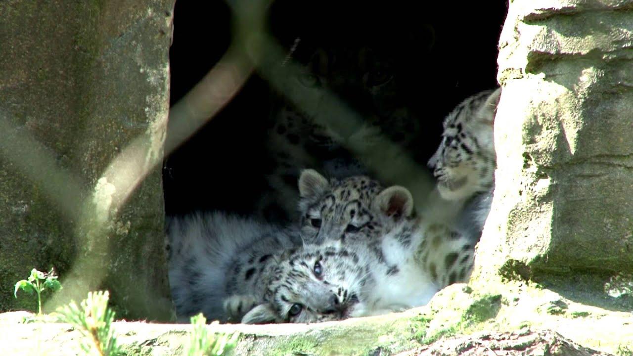 Marwell s snow leopard cubs emerge from their den youtube