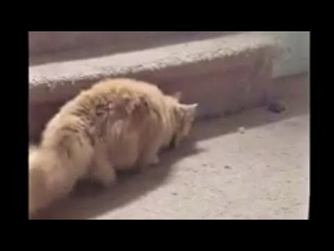 fluffy-cat's-wild-play-with-toy-mouse