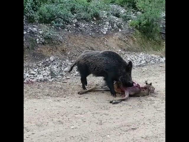 Ha visto como comen carne los jabalíes? - YouTube