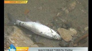 Масова загибель риби на водозаборі в Усольє-Сибірському