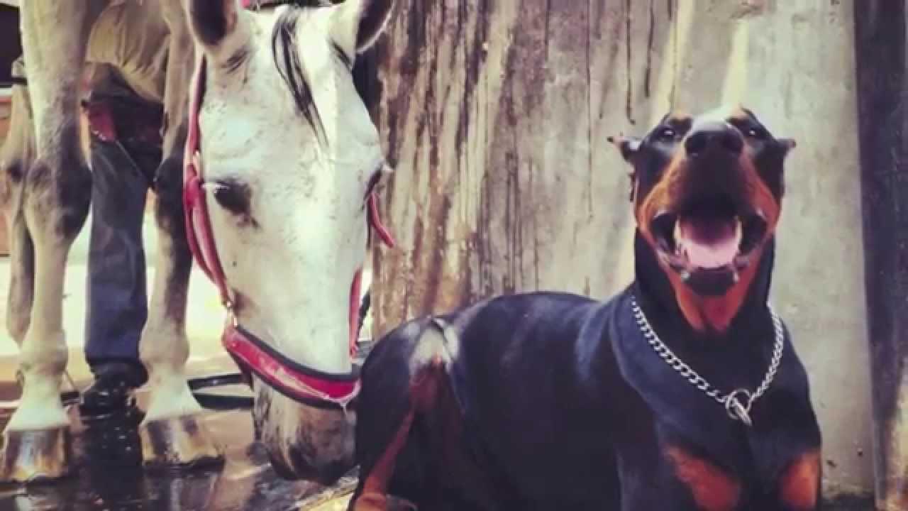 The Doberman 'Horse Whisperer'