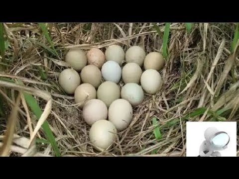 Mang ổ trứng lạ trên núi về cho gà mái ấp đến lúc nở ra cả làng phải gọi ngay cho cảnh sát