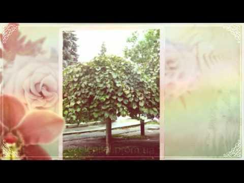 Купить саженцы дерева розы декоративные деревья цветы Днепропетровск цены недорого BrilLion Club
