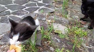 白黒野良子猫の食べっぷりの凄さに、唖然と見つめる野良黒猫の意外な光景🙀! thumbnail