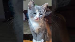 Kitten sits on the end of a coffee table #shorts