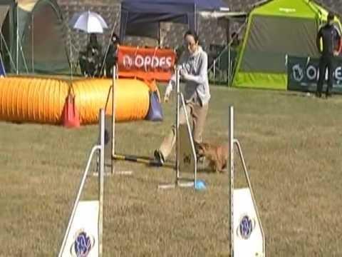 My norfolk terrier Bambam's 3rd Dog Agility Trial (JP1)