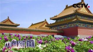 [中国新闻] 故宫:万株牡丹进宫 再现花动京城盛景 | CCTV中文国际
