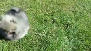 Pomeranian-zwergspitz Female, Wolf Sable