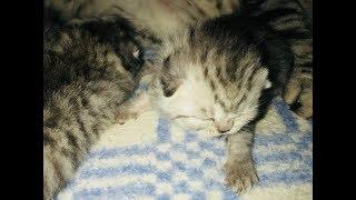 Котятки. Как кошка ухаживает за котятами!