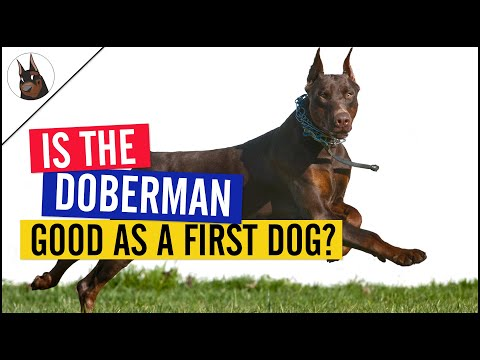 Do you want a Doberman as your First Dog?