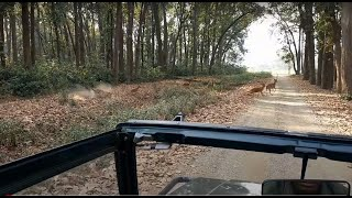 Oh My God ! Tiger hunting a deer ... Dhikala safari amazing moment ... we captured a live kill