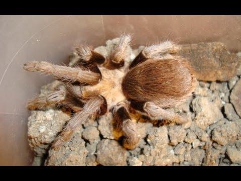 Barbara Ann - Millions Tarantulas Are Crawling Around La Junta, Colorado Looking for Love