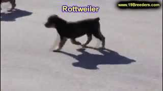 Rottweiler, Puppies, For, Sale, In, Cedar Rapids, Iowa, Ia, West Des Moines, Ames, Council Bluffs, W
