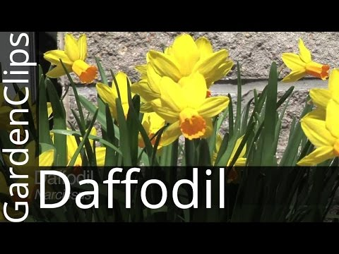 daffodil---narcissus---how-to-grow-daffodils---where-to-plant-narcissus