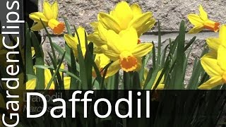 Daffodil - Narcissus - How to grow Daffodils - Where to plant Narcissus
