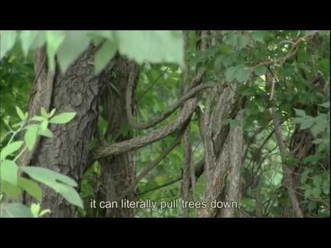 LITTLE THINGS big problems-- Invasive Plants In Our Parks