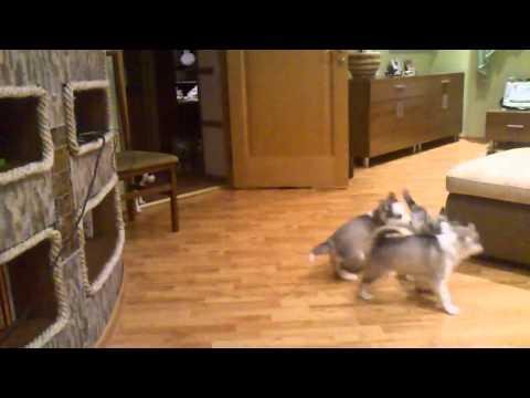 Веселая хаски-мама).mp4 video