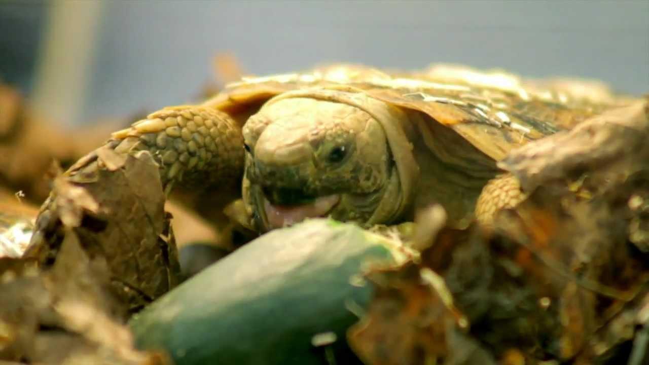Tarta expo 2012 le tartarughe terrestri youtube for I gatti mangiano le tartarughe