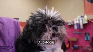 Grooming Two Matted Shih tzu