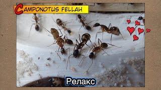 Муравьиный релакс ● Camponotus fellah