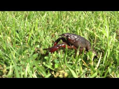 Crawfish In The Lawn