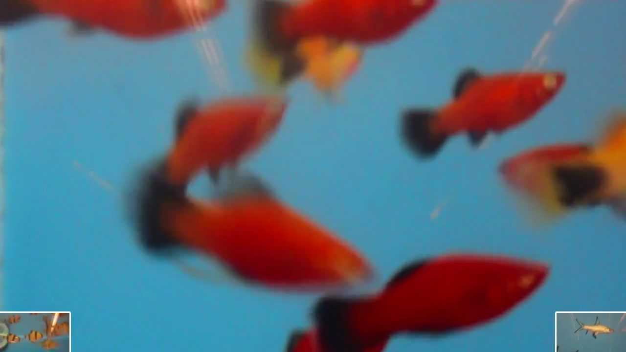 Red Wag Platy and Gold Mickey Mouse Platy - Tropical Fish for Home ...