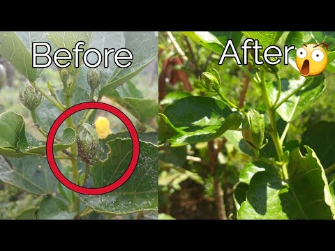 How To Control White Mealybugs On Hibiscus Youtube