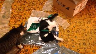Sampson the polydactyl cat: playing in packaging