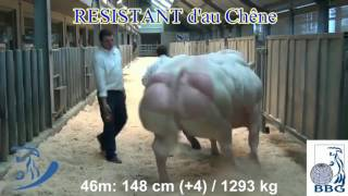 Race blanc bleu belge , monstruosité ou pas ?