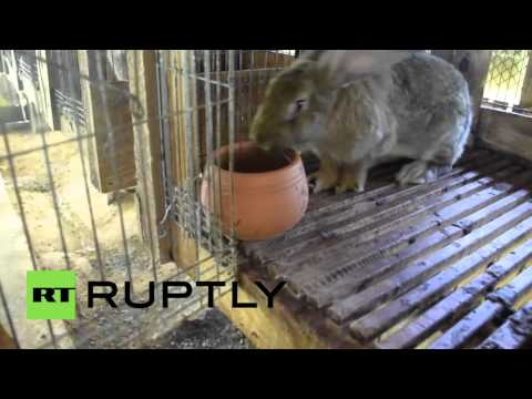 Brazil: Farmer breeds GIANT RABBITS using special Chinese herbs
