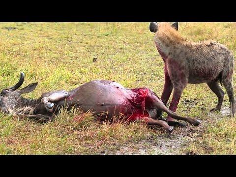 Hyena Eats Antelope Alive Brutal Kill