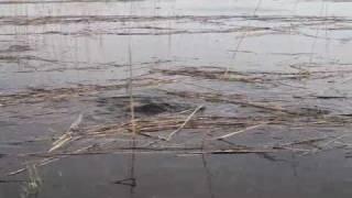 видео Нерест карпа: сроки и условия для начала, продолжительность икромета