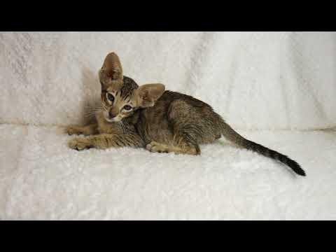 Available Ebony Spotted Tabby Oriental Shorthair Boy DOB 10-18-17
