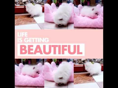 Quality White Pomeranian puppy