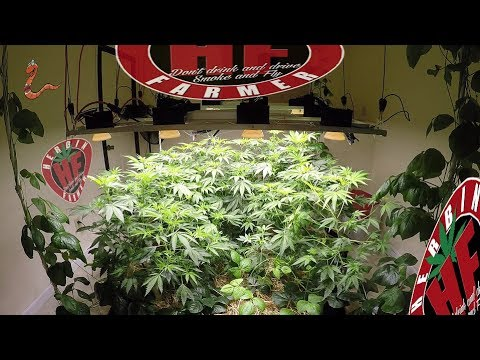 Flowering Organic Cannabis Indoors COB LED Cycle 2 No Till 9