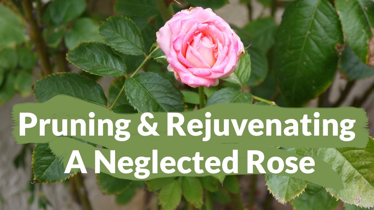 How to trim a rose bush - The Much Needed Pruning Rejuvenating Of A Neglected Rose