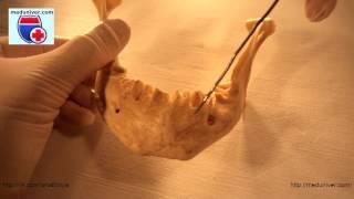 Анатомия нижней челюсти (mandibula) - meduniver.com