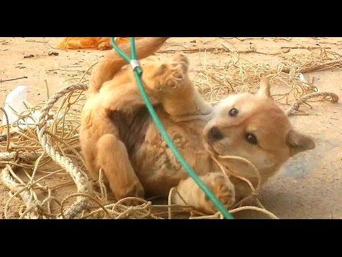 [60] 개구쟁이 진돗개 강아지 장금이의 그물 함정 탈출하기 / A mischievous puppy that being escape of the net trap