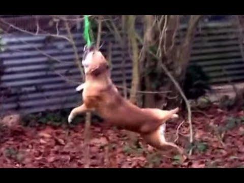 Crazy Staffordshire Bull Terrier swing like Monkey!