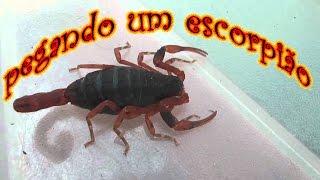 Como pegar um escorpião na mão sem ser picado!!