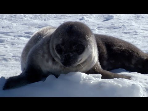 Seal pup's underwater lessons - Animal Super Parents: Episode 1 Preview - BBC One