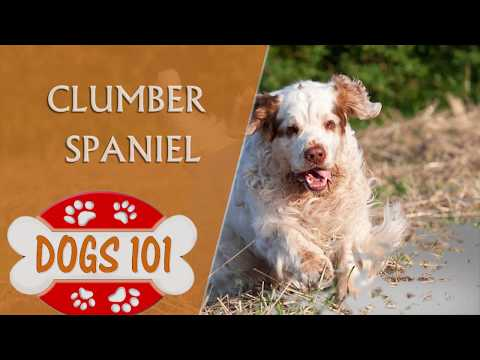Dogs 101 - CLUMBER SPANIEL - Top Dog Facts About the Clumber Spaniel