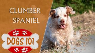 Dogs 101  CLUMBER SPANIEL  Top Dog Facts About the Clumber Spaniel