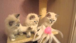 Невские маскарадные котята, помет K
