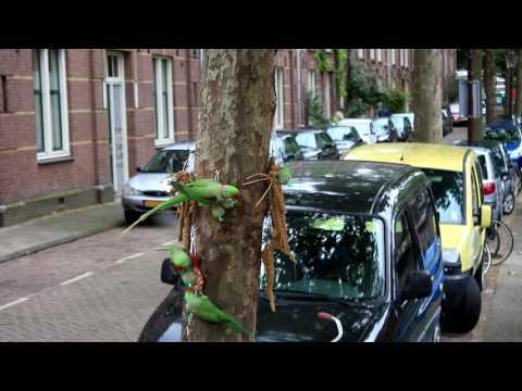 Amsterdam Green Wild Parrots Bridge 130 Feeding
