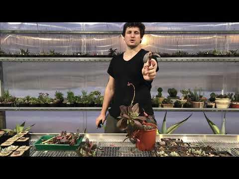 Эчеверия с гигантскими цветоносами - Георгий Аристов