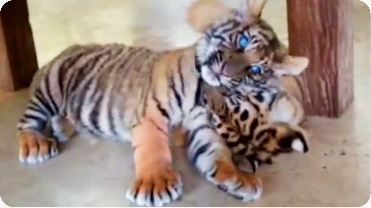 Cute tiger cubs play youtube cute tiger cubs play thecheapjerseys Image collections