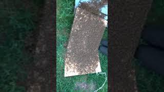 Рой 4 кг(40 тысяч пчёл)
