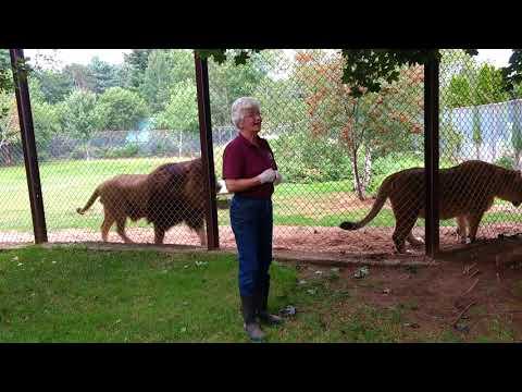 Lion feeding at Oaklawn Farm Zoo in Aylesford, Nova Scotia